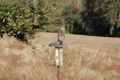 hawk-on-feeder