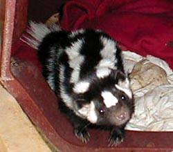 spotted_skunk
